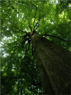 big-tree-looking-up